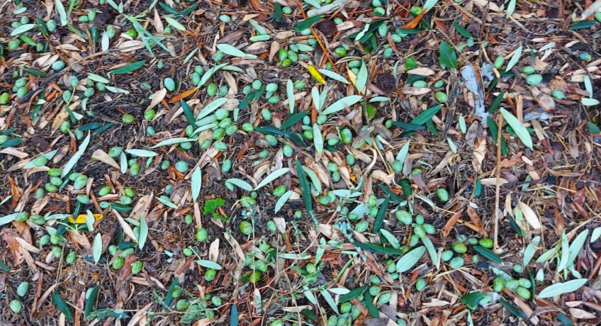 Olive cadute in agro di Gragnano a causa della grandine